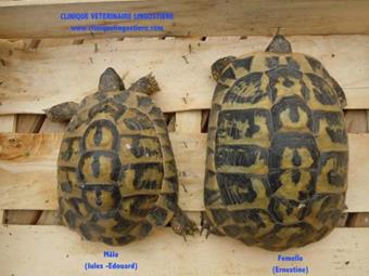 Difference de taille chez la tortue Clinqiue Veterinaire Lingostiere Nice
