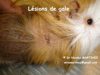 Gale cobaye Clinique Veterinaire Lingostiere Nice