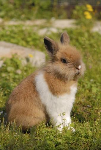 Lapin Clinique veterinaire Lingostiere Nice