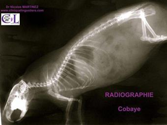 Radiographie cobaye Clinique veterinaire Lingostiere Nice