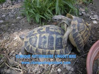 sexage tortue