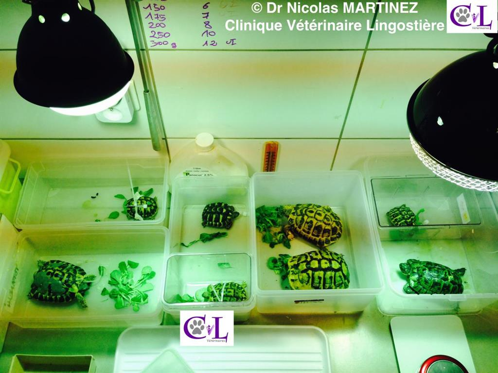 Hospitalisation tortues malades clinique veterinaire lingostiere Nice